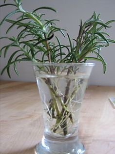 Rosemary rooting in water