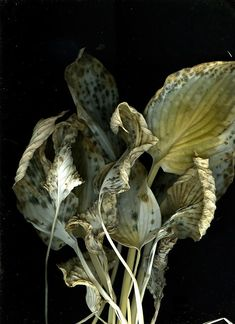 Hostas photo by Leslie Avon Miller. Macro Fotografie, Fotografia Macro, Botanical Art, Botanical Illustration, Zentangle, Billy Kidd, Growth And Decay, Natural Forms, Dried Flowers
