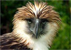 Especies en Peligro | águila filipina