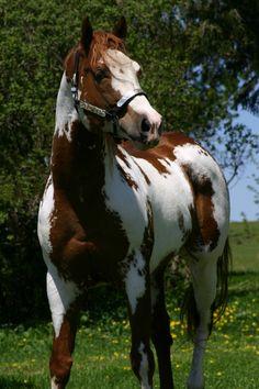 Scenic Zipaloot - APHA/PtHA Sorrel Overo Stallion.