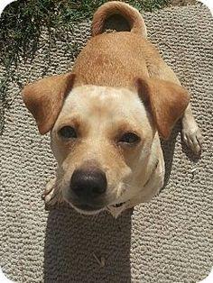 Los Angeles, CA - Dachshund/Chihuahua Mix. Meet Harley Quinn, a dog for adoption. http://www.adoptapet.com/pet/16820435-los-angeles-california-dachshund-mix