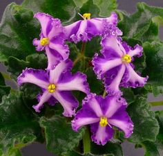 1000 Images About African Violets On Pinterest African