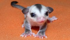 Baby sugar glider......probably the cutest thing ever