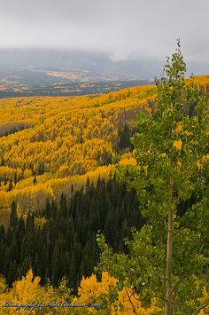 """'Rare Evergreens on Colorado's Ohio Pass' 