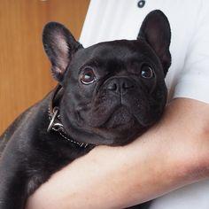 Cute, French Bulldog Puppy❤️