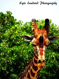 A tall, beautiful giraffe with amazing patterns at Naples Zoo taken by a Canon PowerShot SX510 HS.