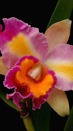Cattleya Orchid flowers, close-up, bright Exotic Flowers, Tropical Flowers, Amazing Flowers, Colorful Flowers, Beautiful Flowers, Orchid Flowers, Cattleya Orchid, Illustration Blume, Flower Close Up
