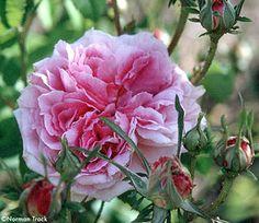 'Triomphe de Laffay' (1830) China/Noisette rose | Photographed at Cour de Commer by Norman Track