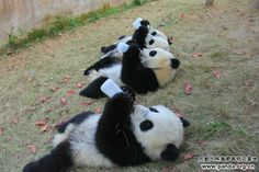 Panda Cubs Eat Breakfast Now
