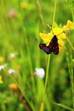 Burnet Moths spotted near the church at Croome by Tracey Blackwell.