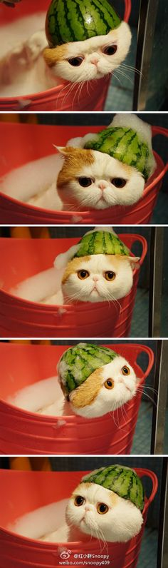 Snoopy cat taking a bath with a watermelon on his head!