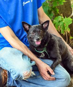 Meet Katie, a Petfinder adoptable Schipperke Dog | New Rochelle, NY | Good day.   My name is Katherine (the Great), but my friends do call me Katie. I was found...