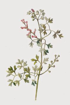 Free Digital Flower Graphic: Wildflower Clip Art of Fumitory