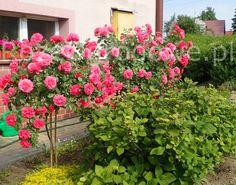 Znalezione obrazy dla zapytania róża uetersen