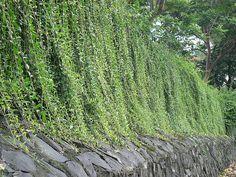 Vernonia elaeagnifolia by dinesh_valke, via Flickr