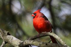 Northern Cardinal ......whenever I see or hear one it is my treat from GOD.