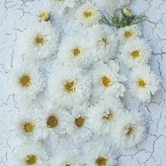 More refined than a traditional white cosmos, 'Snow Puff' is ethereal and romantic. Additional information and seeds are available from Floret. Cut Flower Garden, Flower Farm, My Flower, Long Blooming Perennials, Ivy Rose, Small Shrubs, Climbing Vines, Annual Plants, Summer Flowers