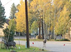 Two bucks roaming near the Texas Club in Ruidoso Rocky Mountains, Lincoln, Deer, Wildlife, Texas, Horses, Club, Animals, Animales