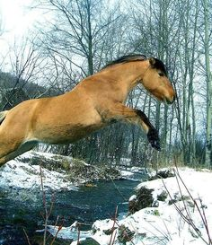 Leaping Fjord horse, Alyanna, No event, kind of wild mare, trying to get to be a show jumper, if not, western, or trail riding horse. (I dont really think Norwegian Fjord horses should do western or trail rides, anything but jumping, oh all well)