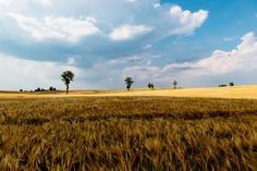 Brown Grass Under Blue Sky - new photo at Avopix.com    ✅ https://avopix.com/photo/40997-brown-grass-under-blue-sky    #wheat #field #cereal #rural #agriculture #avopix #free #photos #public #domain