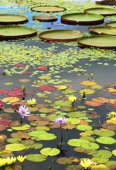 Lily Pads #lotus #ponds #nature