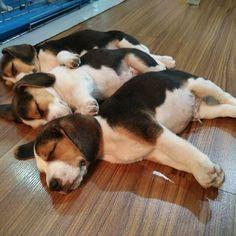 """Beagles ~ Classic """"Precision Lineup"""" Look"""