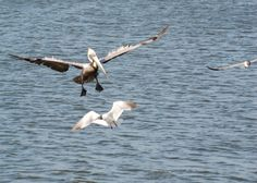 Pelican landing in the Gulf photograph by Peachtree Transcription Radiology Editing Service.