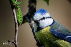 Bluetit - Die lebhaften und geschickten Blaumeisen haben einen wunderschönen Gesang und ein Federkleid das im Sonnenlicht so richtig zum Vorschein kommt. The lively and skillful blue tits have beautiful singing and plumage that really comes out in the sunlight.