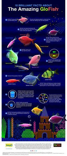 10 Brilliant Facts About The Amazing GloFish® Infographic.  #glofish # tetraglofish  #aquariumtips