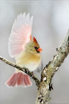 Northern cardinal. So pretty and I LOVE the pink wings!