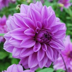 Gardening Products 4 Less Lilac Time Dahlia Flower Bulb - 2001