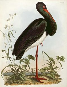 Black Stork by John Prideaux Selby
