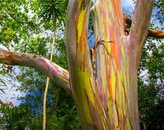 The rainbow eucalyptus flourishes in warm climates, and can be found in Hawaii, New Guinea, Texas, t... - Flickr user Thomas
