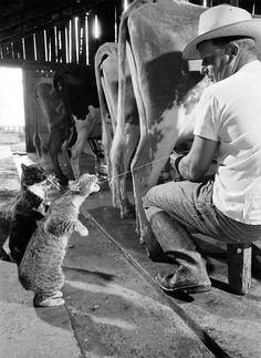 Brownie gets the milk as Blackie waits his turn, 1954