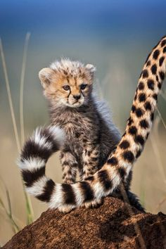 Beautiful cheetah cub sticking close to mum. Cheetah Cubs are small and he … - Animals Wild Life Big Cats, Cats And Kittens, Cute Cats, Cute Baby Animals, Animals And Pets, Funny Animals, Wild Animals, Beautiful Cats, Animals Beautiful