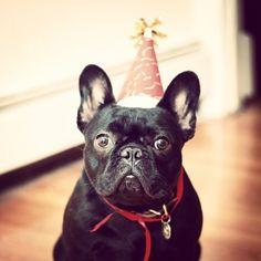 """I have NO idea what I'm celebrating"", confused French Bulldog Party Boy."