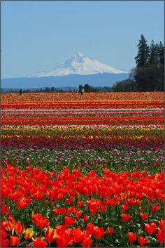 Tulip Festival at the Wooden Shoe Tulip Farm in Woodburn, OR. Photo by Michel Hersen. The fields are stunning when the flowers are in bloom - they grow over 40 Acres of Tulips and Daffodils.