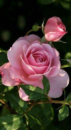"Képtalálat a következ?re: ""Fénykép"" (bloom nature) Beautiful Rose Flowers, Love Rose, Amazing Flowers, My Flower, Pink Flowers, Beautiful Flowers, Birth Flower, Flower Petals, Bloom"