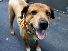 TO BE DESTROYED 8/28/14 Manhattan Center   My name is RUSTY. My Animal ID # is A1010167. I am a neutered male brown and cream golden retr and chow chow mix. The shelter thinks I am about 3 YEARS old.  I came in the shelter as a STRAY on 08/11/2014 from NY 11369, owner surrender reason stated was STRAY.