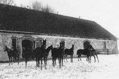 059-0195 Zweijaehrige Trakehnerfohlen im Auslauf des grossen Pferdestalls auf dem Schaeferberg in Langendorf 1929.jpg