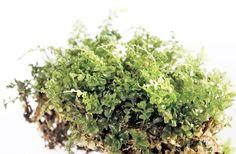 Bongaa sammal - Luonto - Turun Sanomat Herbs, Fruit, Herb, Medicinal Plants