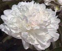 -Paeonia Baroness Schroeder