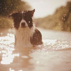 A luminous border collie in the river. Untitled [Kolie] by Anja Zaharanski. I Love Dogs, Cute Dogs, Saarloos, Cute Dog Pictures, Collie Dog, Jolie Photo, Crazy Dog, Dog Photography, Beautiful Dogs