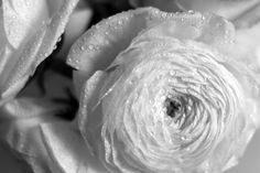 Photograph Ranunculus by A.M. Photography  on 500px