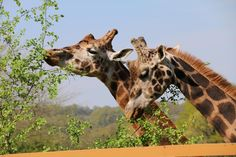 Les girafes du Parc Zoo du Reynou