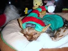 """Our """"Gidgetelf"""" on Christmas Eve.. being an elf is hard work!!    http://hautedoggie.blogspot.com/"""