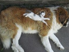 A kitten sprawled out on top of a sleeping dog.