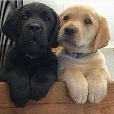 Discover The Enthusiastic Chocolate Labrador Retriever Dogs And Kids - Welpen - Perros Perro Labrador Retriever, Cute Labrador Puppies, Chocolate Labrador Retriever, Golden Retriever, Cute Dogs And Puppies, Doggies, Retriever Puppies, Puppies Puppies, Dalmatian Puppies