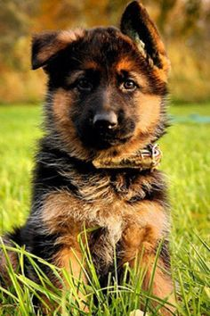 German shepherd!
