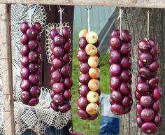 Gärtnern mit dem Mond - Die Zwiebel + Zwiebelzopf Zwiebeln sind auf unserem Speiseplan gar nicht mehr wegzudenken. Deshalb dürfen sie auch in keinem Garten fehlen, aber aufpassen das sie nicht direkt neben Kartoffeln, Bohnen und Kohl wachsen. Denn dann ist Streit im Gemüsebeet angesagt ;). Die Zwiebel liebt den abnehmenden Mond, ob ihr sie steckt, giesst oder düngt; es muss immer bei abnehmendem […]